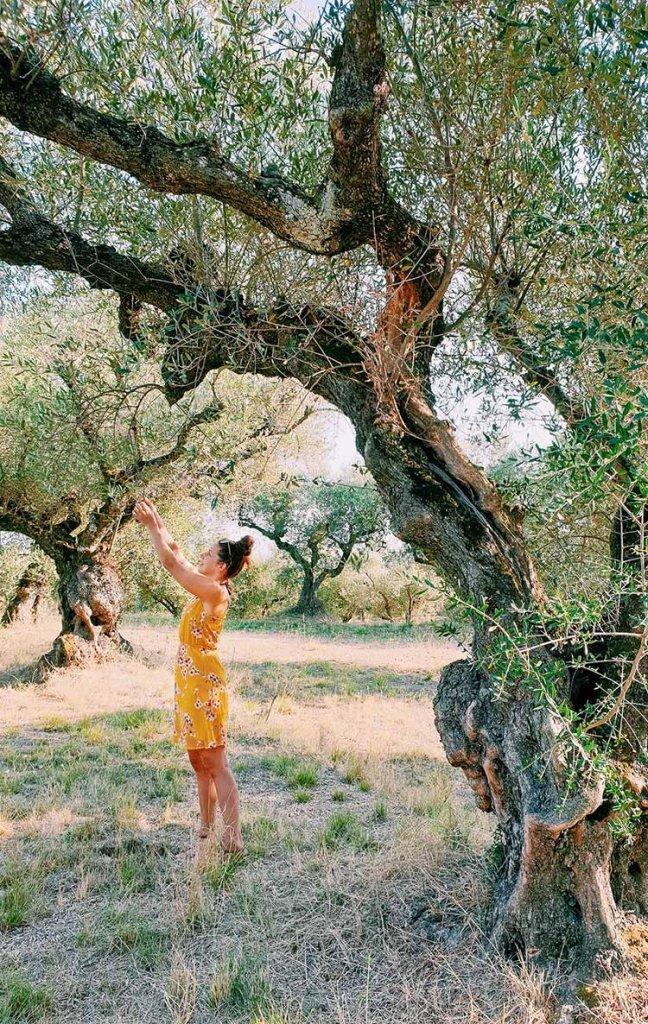 Olijfbomen op Zakynthos